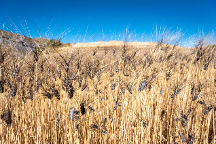 Tall dry grass