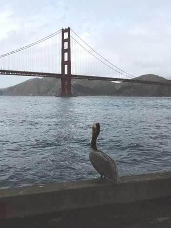 GoldenGateBridge Birds Of EyeEm