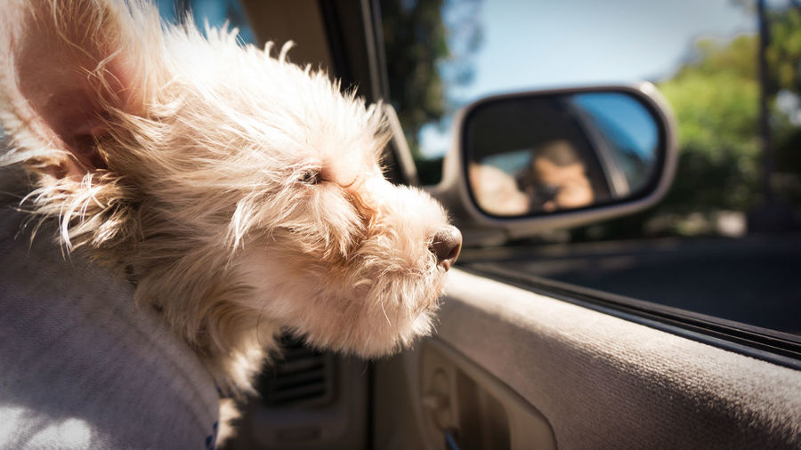 Close-Up Of Dog Looking Through Car Window