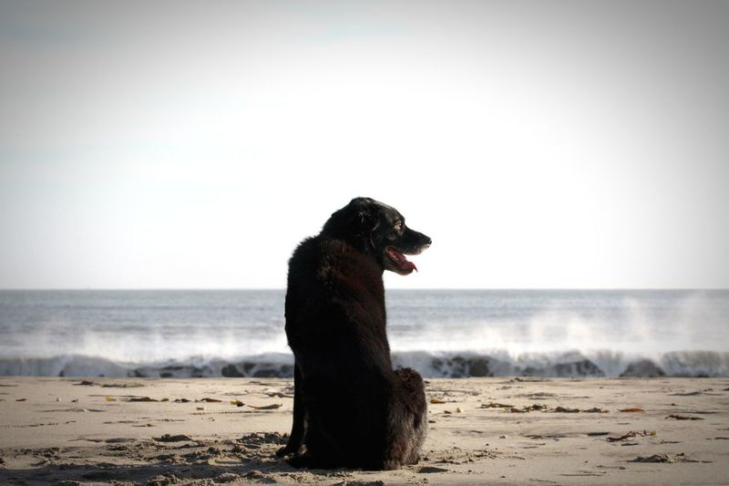 Rear view of dog sitting on sand at beach against clear sky