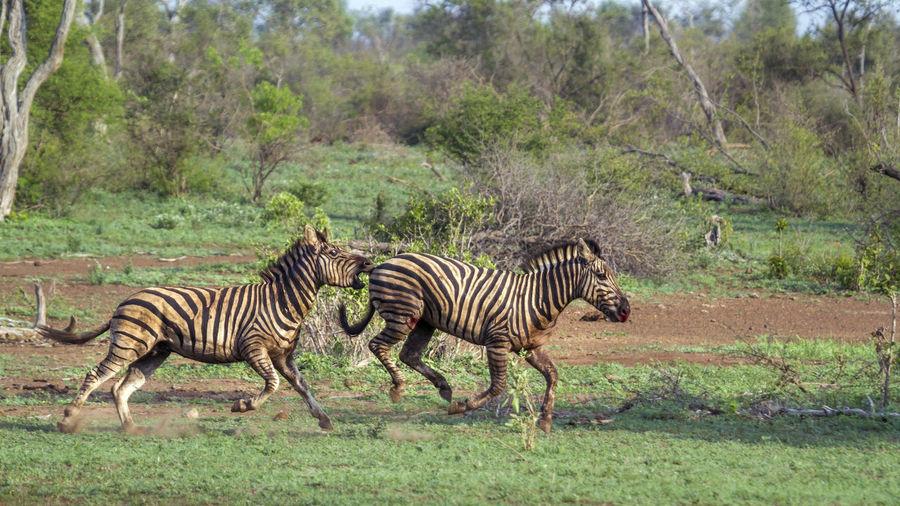 Zebras fighting on land