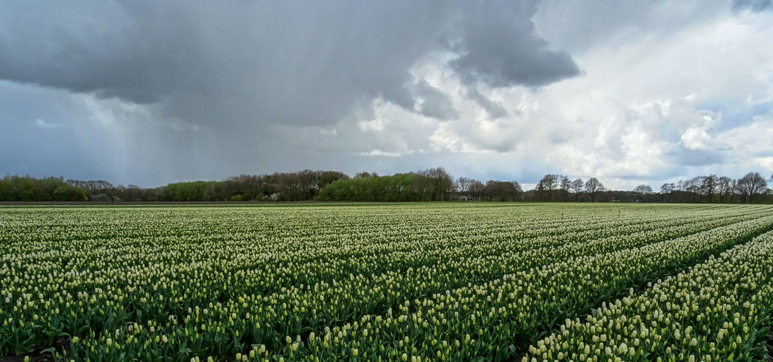 Hailstorm over tulipfield Agriculture Field Crop  Storm Cloud Tulip Tulips Tulipfield Cloud - Sky Rural Scene Farm Nature Beauty In Nature Sky Outdoors Day No People Landscape Thunderstorm