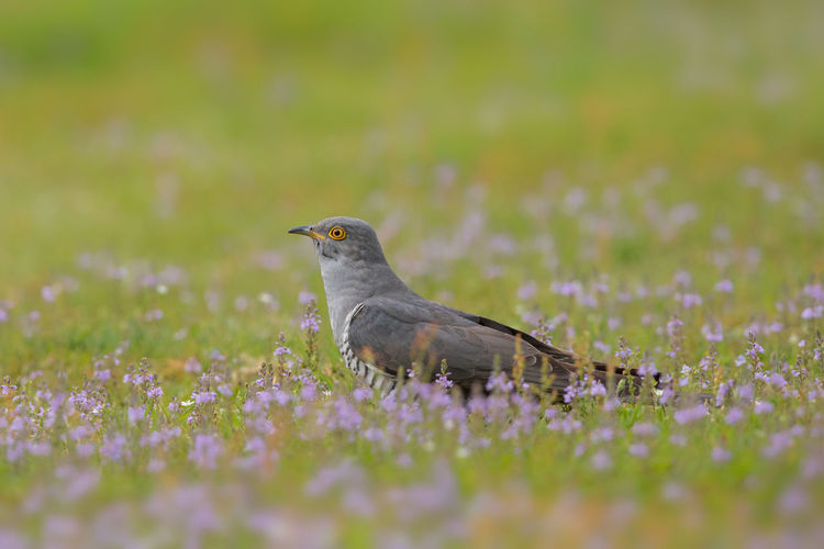 cuckoo hunting for insects Coucou Gris Cuco Europeo Cuculus Canorus Animal Themes Animal Wildlife Animals In The Wild Bird Cuckoo Day Kuckuck Nature No People Outdoors