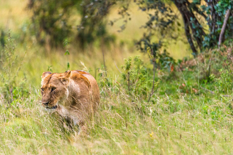 Rare view of a lioness in grass