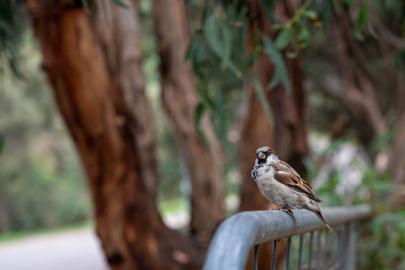 Male sparrow perched on metal fence at kennett river, great ocean road, australia