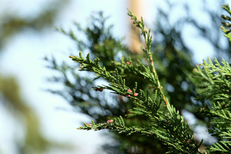 Beliebte Fotos EyeEm Best Shots EyeEm Nature Lover EyeEm Selects Thuja Beauty In Nature Close-up Coniferous Tree Green Color Growth Nature Needle - Plant Part No People Outdoors Plant Selective Focus Thuya Tree