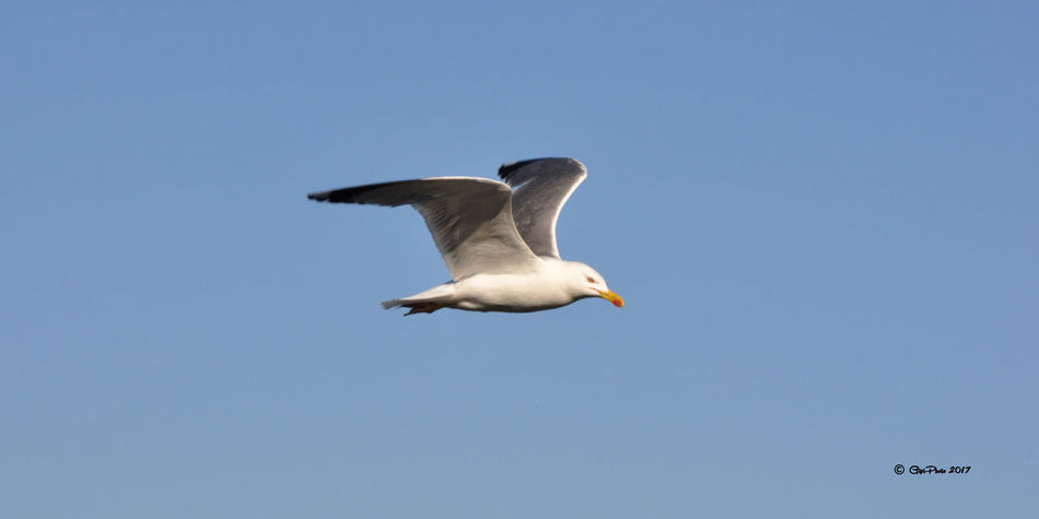 Bird Of Prey Spread Wings Clear Sky Blue Mid-air Seagull Sky Animal Themes