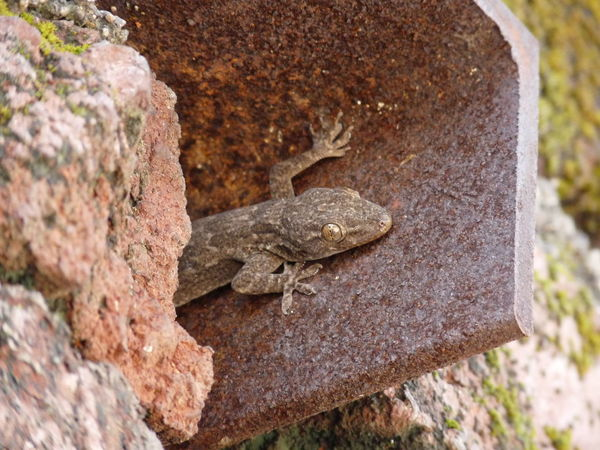 I always stay in camouflage. Reptile Day Nature Lizard Close-up Outdoors Focus On Foreground High Angle View Full Length Gekos