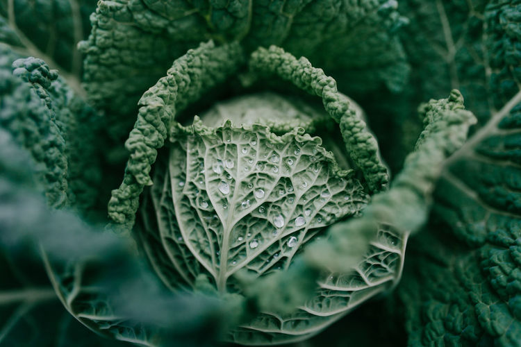 Agriculture Bio Beauty In Nature Cabbage Cabbage Field Cabbages Close-up Day Freshness Green Color Growth Health Healthy Healthy Eating Healthy Food Healthy Lifestyle Nature No People Outdoors Food Stories Business Stories