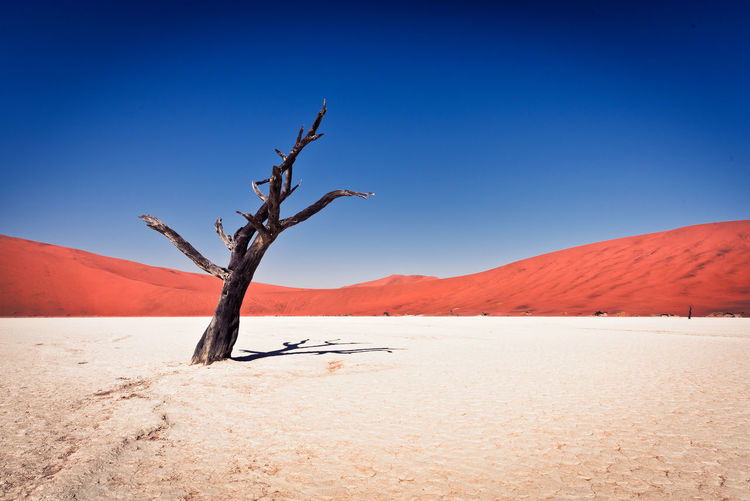 Bare tree against clear blue sky at namib desert