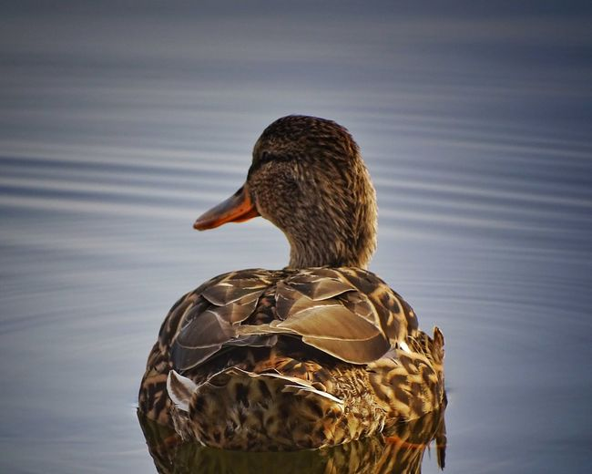 Rear View Of Rouen Duck Swimming In Lake