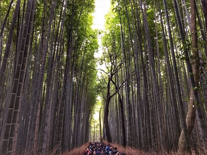 Tree Nature Bamboo Grove Forest Green Color People Beauty In Nature Travel Travelphotography Detail Japan Japanese  Kyoto Kyotojapan Kyoto Bamboo Bamboo - Plant Arashiyama Bamboo Forest Arashiyama Arashiyama Bamboo Grove Arashiyamabamboogrove
