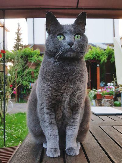 My fat cat 😻 Pets One Animal Mammal Domestic Cat Portrait Feline Sitting Domestic Animals Day Animal Themes No People Pets Corner Green Eyes Grey Cat Sitting On Table Alertness Cute Pets