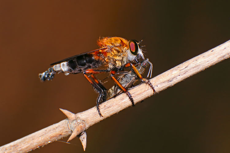 Macro shot of a Robber fly Asilidae eating insect Animal Wildlife Animals In The Wild Animal Animal Themes Invertebrate Insect Close-up One Animal Nature Wood - Material No People Animal Wing Plant Outdoors Tree Day Plant Stem Animal Body Part Twig Zoology