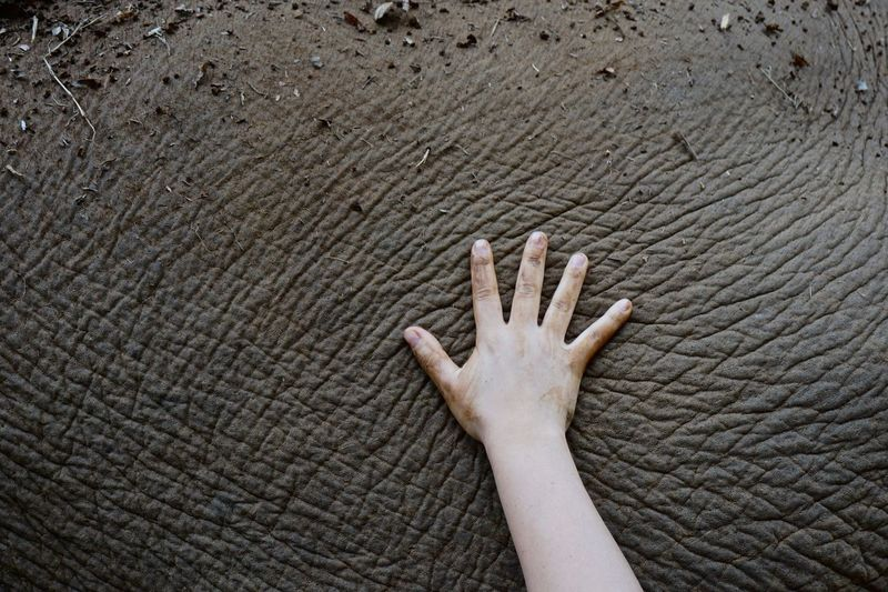 Close-up of human hand touching elephant