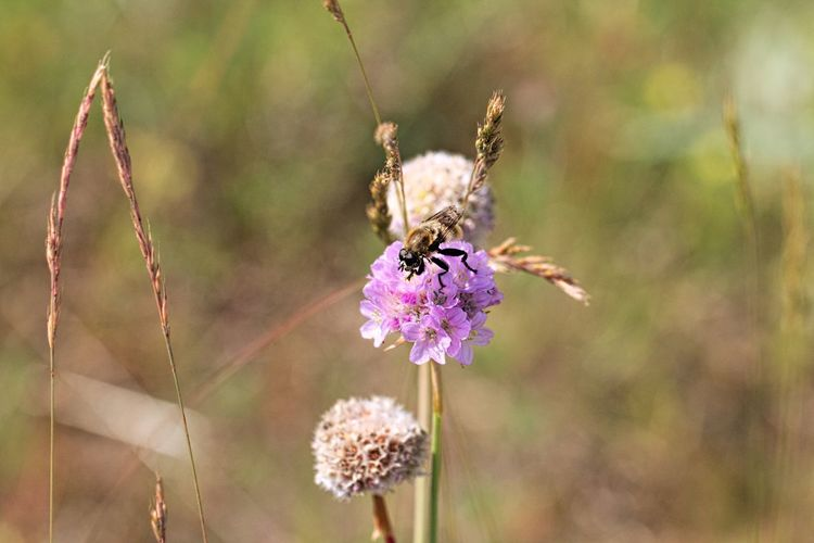Purple Animal Wing Growth Petal Flower Head Focus On Foreground Close-up Insect Animal Wildlife Animals In The Wild Animal Themes One Animal Animal Pollination Freshness Beauty In Nature Fragility Flower Vulnerability  Nature_collection Nature Photography Beautiful Nature Natural Beauty Beautiful Lovely Animal Photography Snapshots of Life Snapshot Fieldscape Field Walking Around Taking Pictures Meadow Flowers Meadow Flower Photography Flowers, Nature And Beauty Scenics - Nature EyeEm Nature Lover EyeEm Gallery Eye4photography  Insect Photography Insect Paparazzi Bokeh Beauty In Ordinary Things