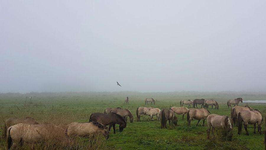 Wild horses in