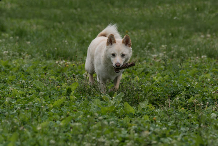 Shiba inu with stick in mouth walking on grassy field