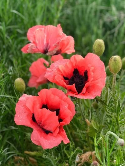 Poppies Depth