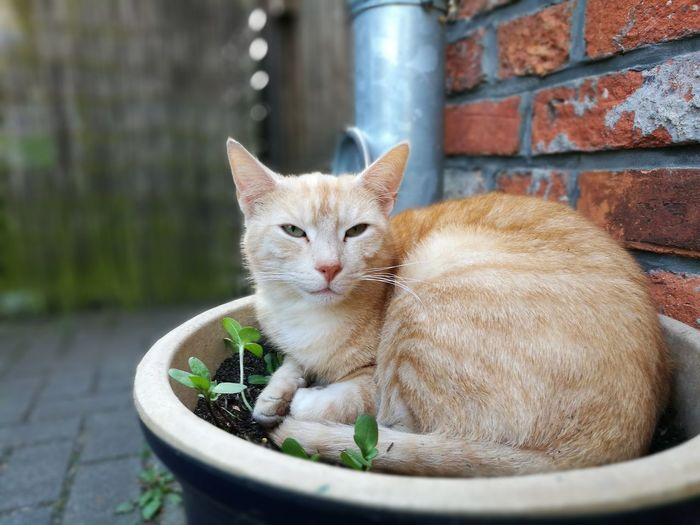 Close-Up Of Ginger Cat In Flower Pot
