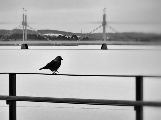 "The Crow asks: ""where did they go""? Lake Shore Bridge Blackandwhite"