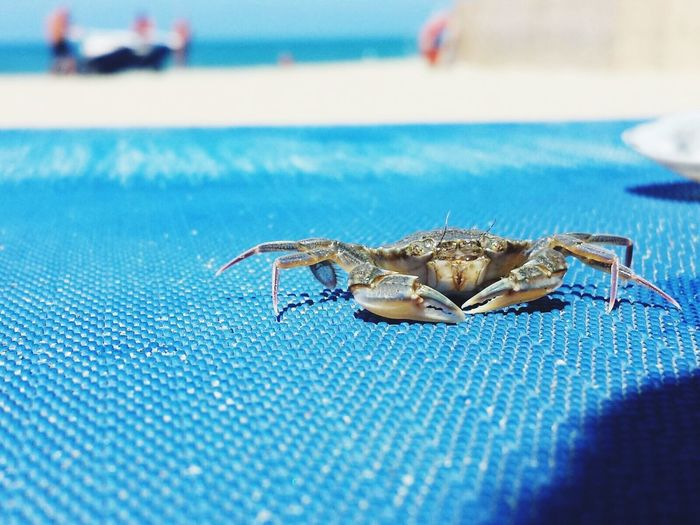 Crab on blue mat at beach on sunny day