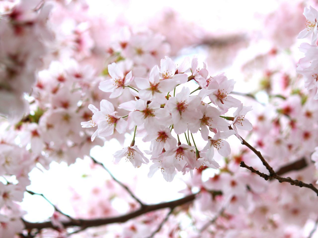 flower, fragility, blossom, cherry blossom, springtime, beauty in nature, growth, cherry tree, tree, nature, pink color, freshness, apple blossom, branch, botany, white color, petal, apple tree, no people, orchard, day, twig, close-up, selective focus, outdoors, stamen, flower head, blooming