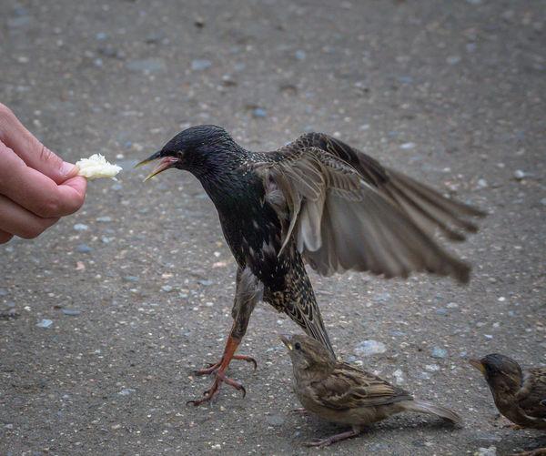 Cropped hand feeding starling on footpath