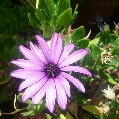 Lalalalah Spring Primavera Secondafalsa Flower Violet