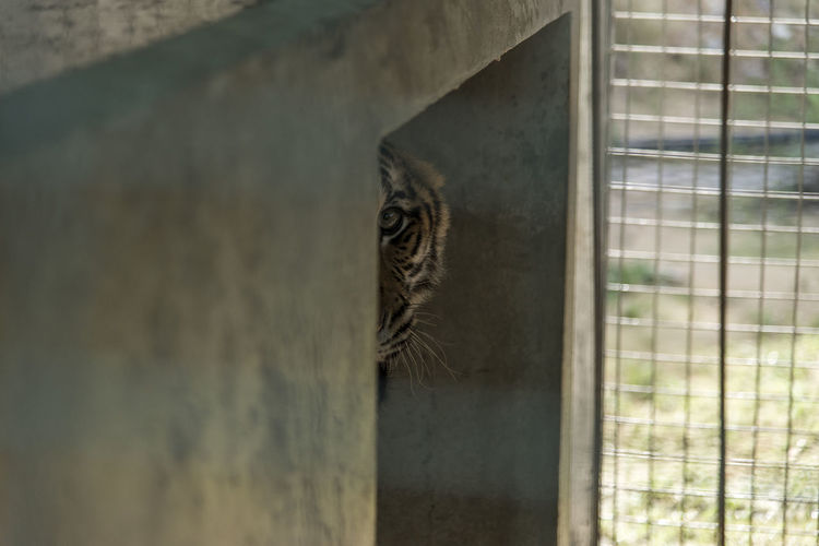 #detain #Thailand #Tiger Animal Themes Animal Wildlife Animals In The Wild Cage Day Mammal Nature No People One Animal Outdoors Prison Trapped