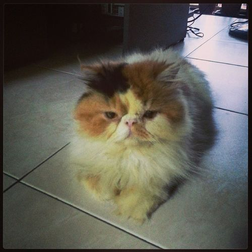 Look at that face!! Persian Kitty Dopey