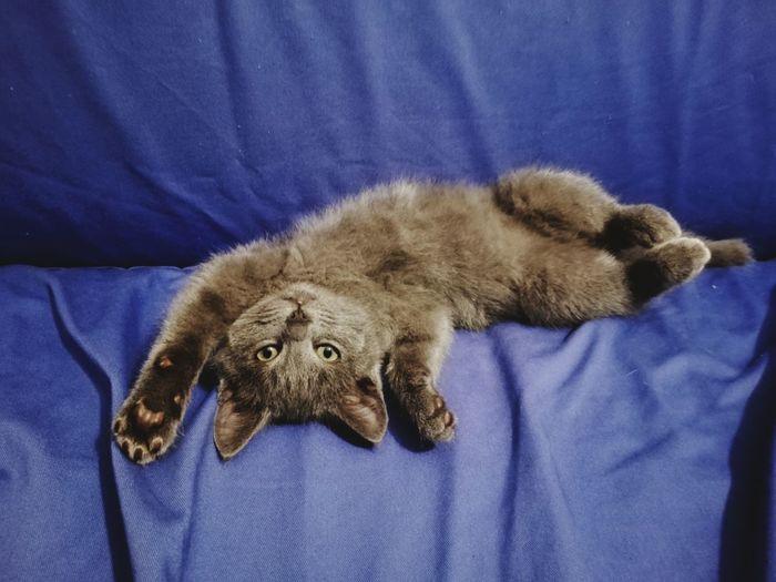 Pets Blue Owl Domestic Cat Close-up