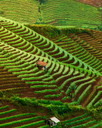 Pattern of tea plantation in Majalengka Agriculture Landscape Land Green Color Field Scenics - Nature Growth Rural Scene Plant Beauty In Nature No People Farm Nature Environment Terrace High Angle View Day Tranquility Pattern Crop  Outdoors Gardening Tea Crop INDONESIA Majalengka