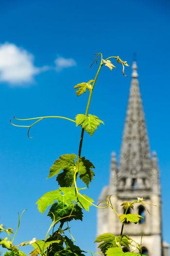 Grape vine on