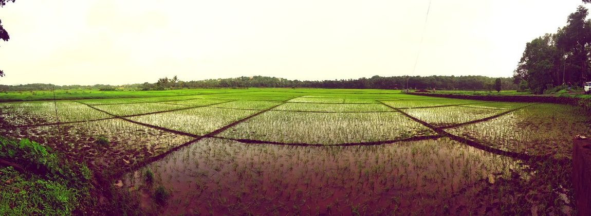 Monsoons in Goa. Paddy (rice) fields.