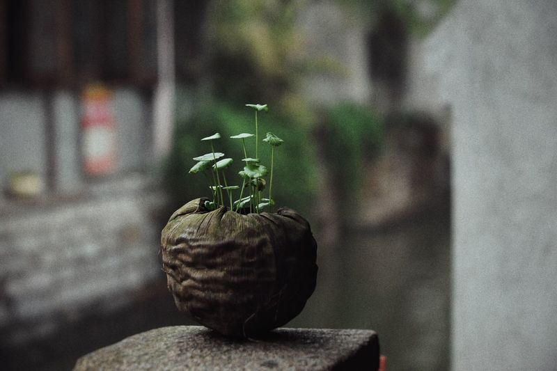 Plants growing in dry coconut shell on retaining wall