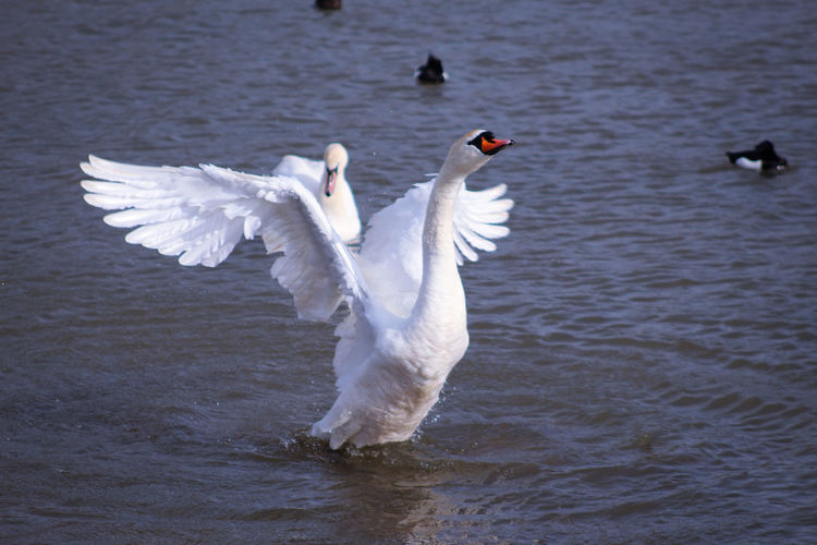 EyeEm Best Shots EyeEm Nature Lover EyeEmBestPics EyeEm Best Shots - Nature Beauty In Nature Wonders Of Nature Swan Bird Spread Wings Water Lake Flapping White Color Animal Themes Close-up Mute Swan Freshwater Bird Preening Animal Wing Water Bird White Swan Beak Feather