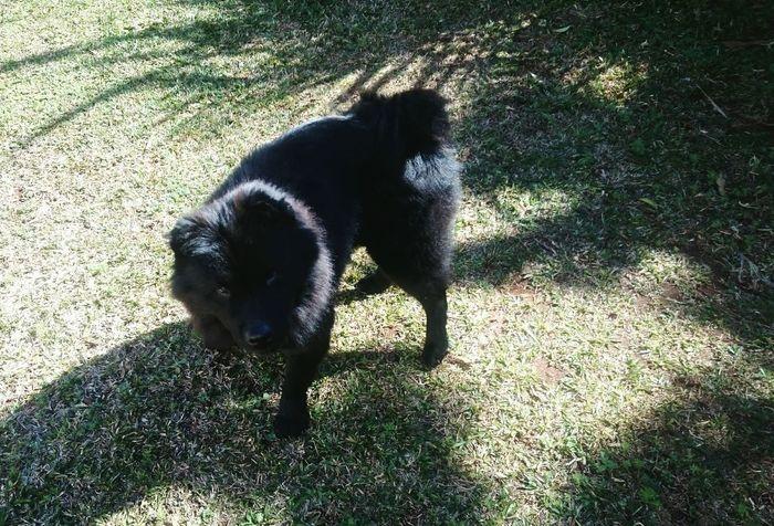 Como nao amar 😍❤💕 ChowChow Chowchowmix🐶 My Chowchow Dogs, Toy Like Picture, Chowchow