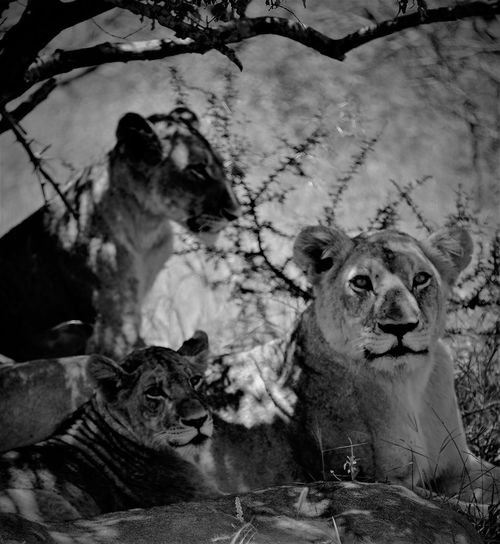 Animal Themes Animals In The Wild Black & White Black And White Blackandwhite Blackandwhite Photography Close-up Day Lions Lions Resting Mammal Nature No People Outdoors Shadows & Lights Shadows And Light