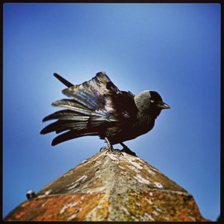 Giovedì nero... Black Bird Nature Animal Backinblack DSLR