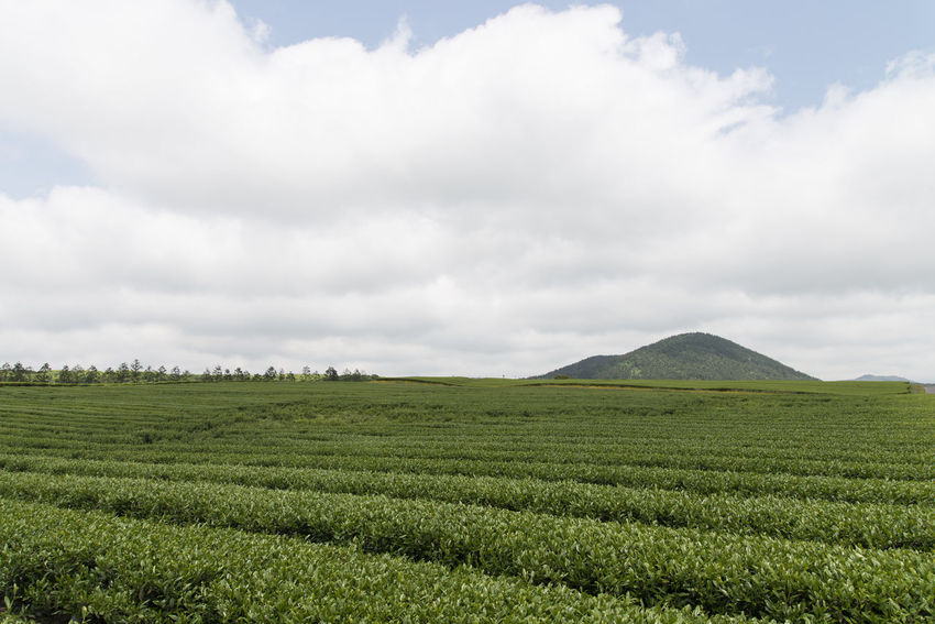 landscape of green tea field at Osulloc in Jeju Island, South Korea Agriculture Beauty In Nature Cloud - Sky Day Field Green Tea Field Growth JEJU ISLAND  Landscape Nature No People Osulloc Outdoors Rural Scene Scenics Sky Tea Crop Tranquil Scene Tranquility