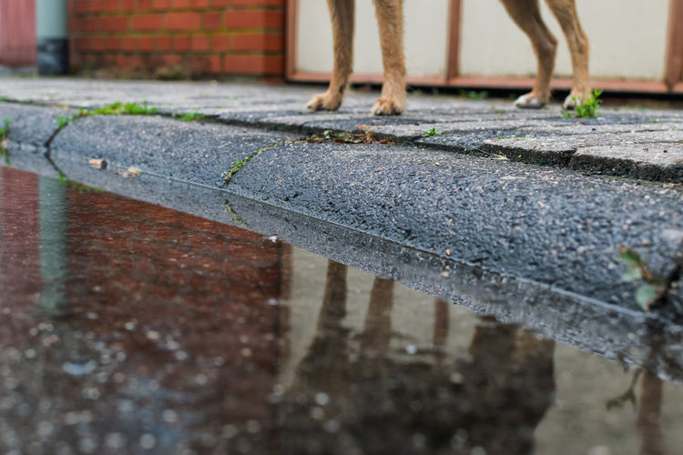 Reflection of dog in puddle