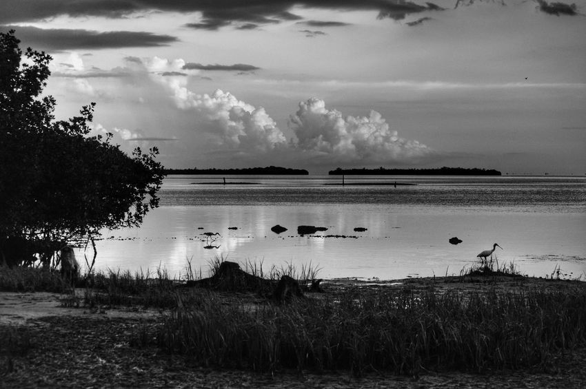 Landscape Sky Clouds Trees Clouds And Sky Florida United States No People Outdoors Black And White Nature Wildlife Water Reflection Mangrove Roseate Spoonbill Heron Silhouette Monochrome Photography Two Animals Birds Showcase June Hidden Gems  Bokeelia Swflorida