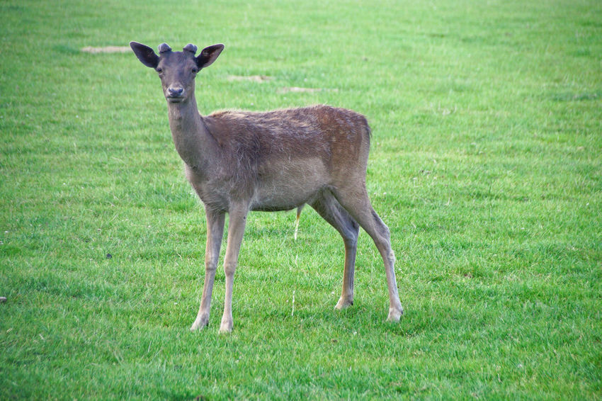 Damwild Deer Animal Animal Themes Animal Wildlife Animals In The Wild Day Deer Deers Fallow Deer Field Full Length Grass Green Color Herbivorous Land Mammal Nature No People One Animal Outdoors Plant Portrait Standing Vertebrate Young Animal