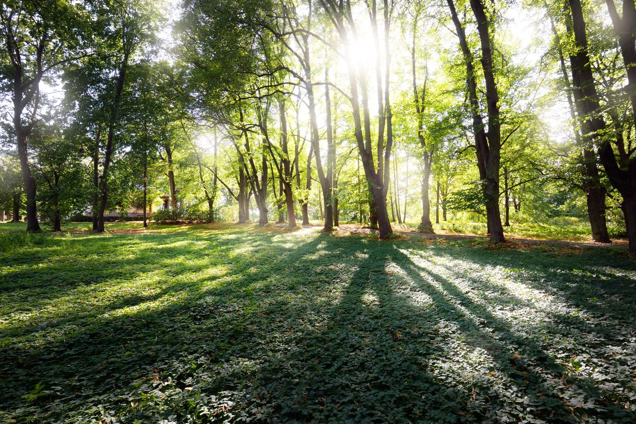 SUNLIGHT STREAMING THROUGH TREES IN THE FOREST