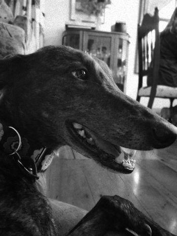 Pets Dog Greyhound Animal Themes