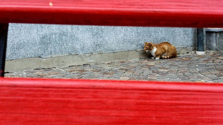 One Animal Animal Themes Red Feline Pets No People Day Outdoors Bench Panchinavuota Pet Portraits