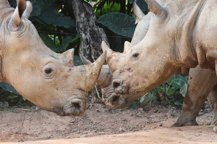 Animal Themes Animal Wildlife Animals In The Wild Close-up Day Mammal Nature No People Outdoors Rhino Rhinoceros Rhinos White Rhino White Rhinoceros