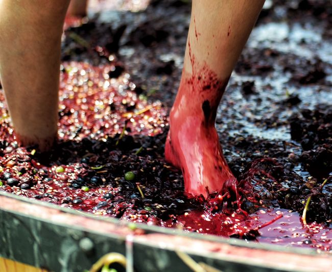 Low section of person stomping grapes at winery