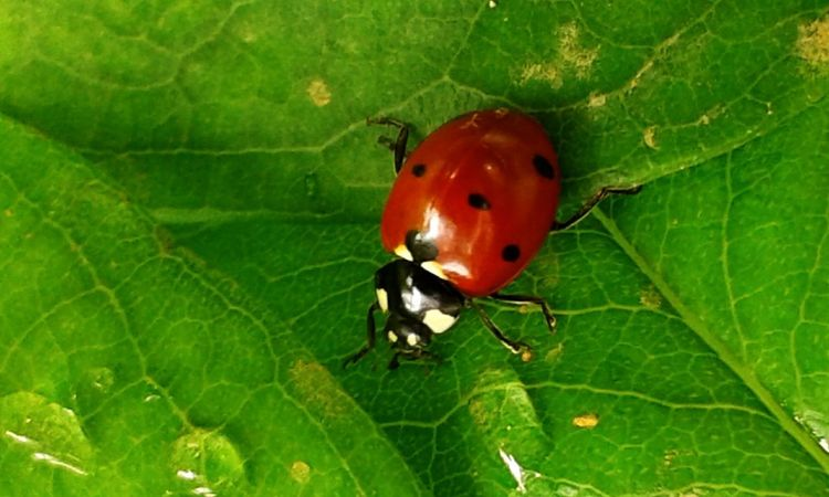 Bug Bugs Bugslife Nature_collection Nature Photography Nature EyeEm Nature And Beauty Insetti Insetti Eyeem Insects  Insect Collection Insect Photography Insect EyeEm Coccinelle Coccinella Coccinelle🐞 Coccinelles🐞 Ladybug Leaf Red Insect Full Length Close-up Animal Themes Plant Green Color
